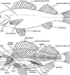 fish anatomy [ 1500 x 1000 Pixel ]