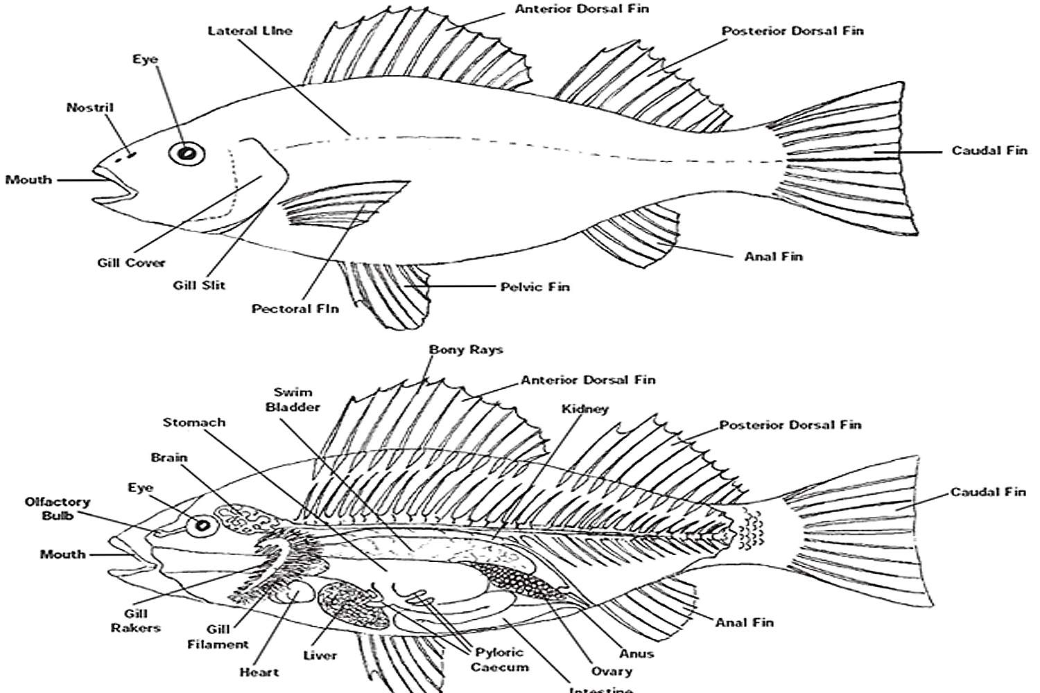 hight resolution of fish anatomy