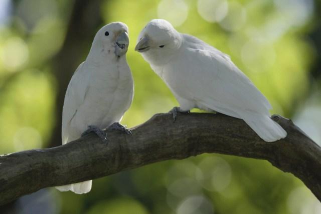 Goffin's Cockatoos, pair / (Cacatua goffini)