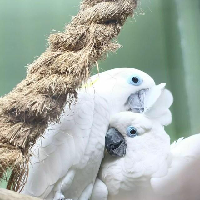 White Umbrella Cockatoos Perching On Wood