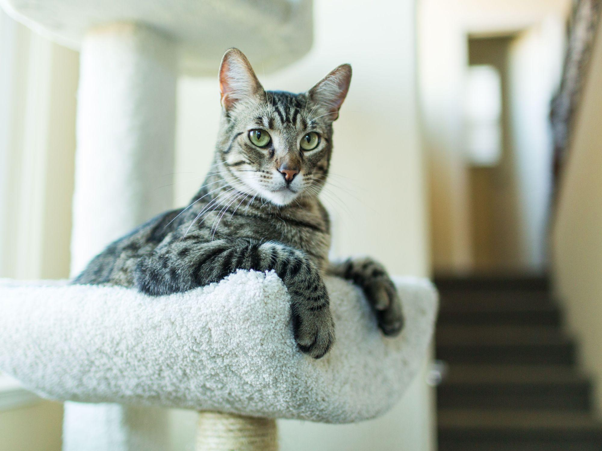 hight resolution of cat toe diagram