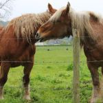 Percheron Horse Breed Profile