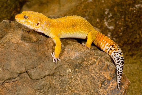 Colors Of Leopard Geckos