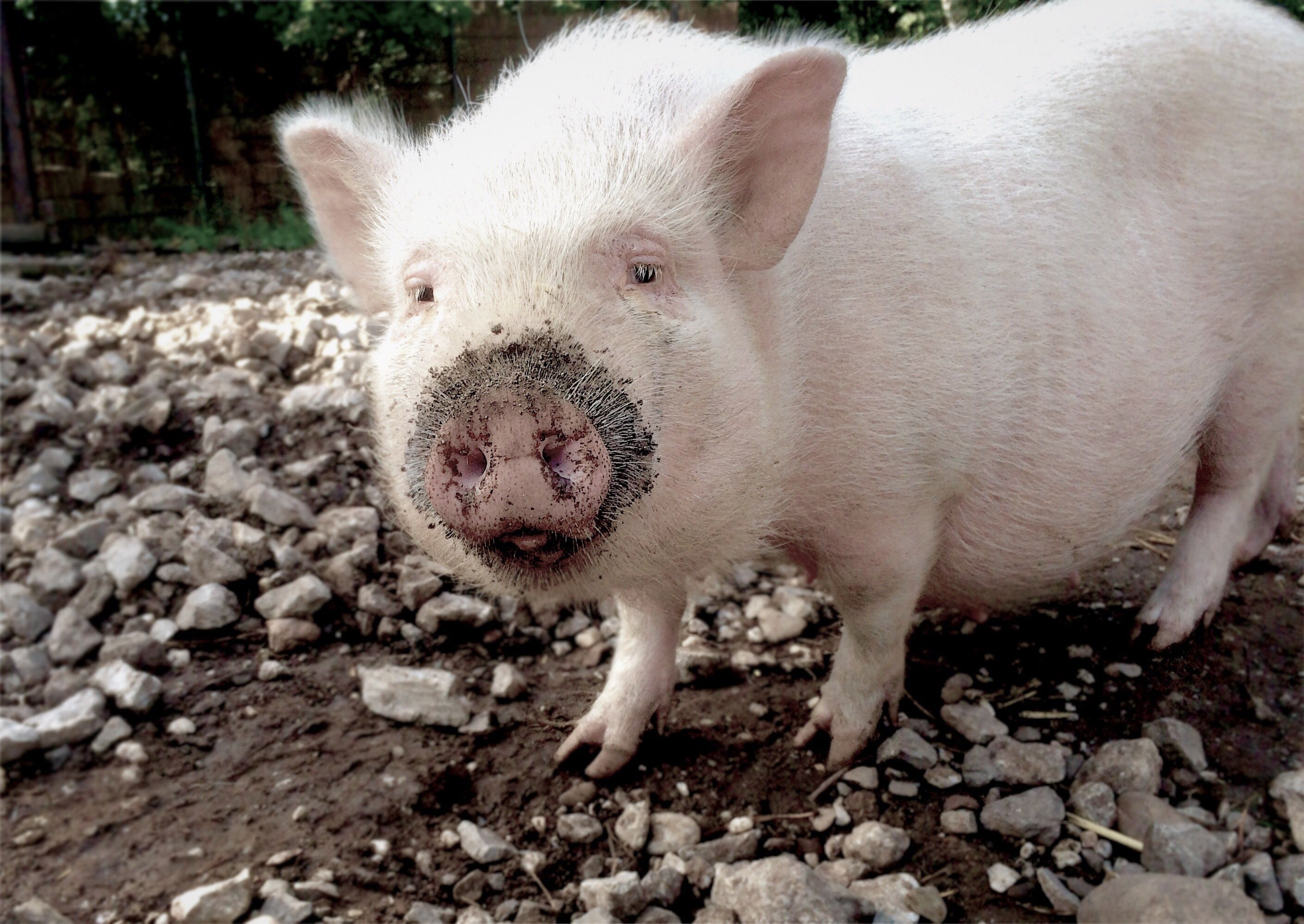 12 cute pigs that