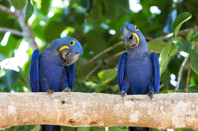 hyacinth macaws perched on branch