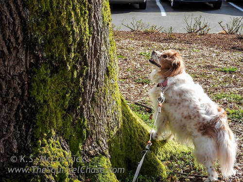 Dog looking up in a tree for a squirrel.
