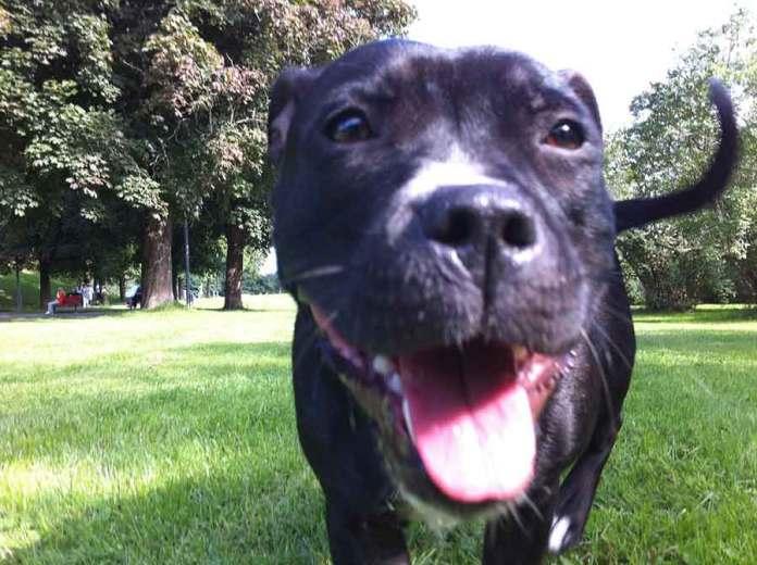 Staffordshire Bull Terrier Behaviour