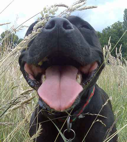 Staffordshire Bull Terrier Health