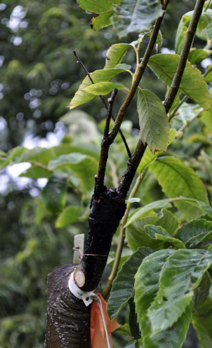 Chopping Grafting Can Result In Beautiful Fruit Trees