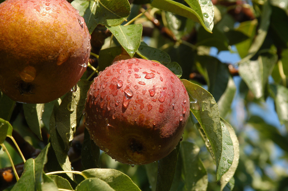 Nova Scotia Apple Orchard Quarantined As Pest Appears In