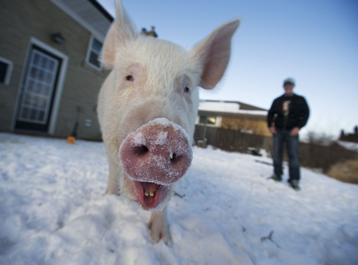 How a 400pound wonder pig changed a couples lives  Toronto Star