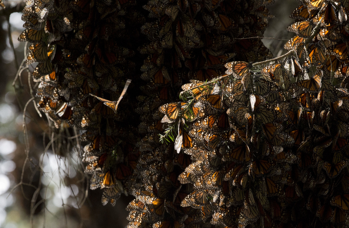 Monarch Butterfly Numbers On The Rise Over Winter