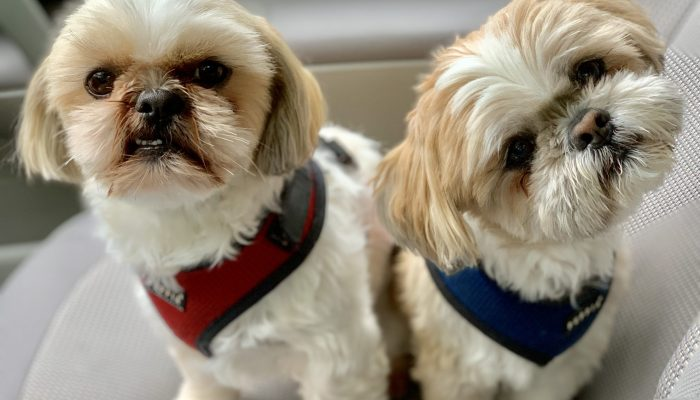 Lessons I've learned from my Shih Tzus