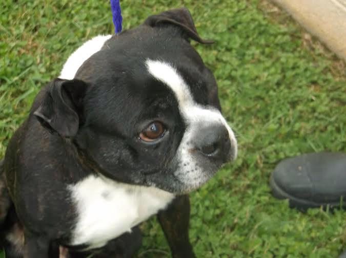 NY/NJ FOSTER NEEDED Puddles is hoping for a Christmas miracle. Puddles is a 5 yr old Boston Terrier who came to the shelter missing an eye. It appears that he had it removed at some point in his life. Puddles is also heartworm positive and will need a foster to foster him during his treatment. It doesn't require much but keeping him calm in a calm environment while he is under going treatment. Heart worm treatment is approx 6 weeks. If you would like to foster Puddles please apply www.louieslegacy.org/foster