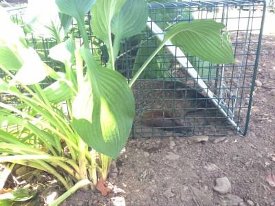 hosta covering groundhog cage