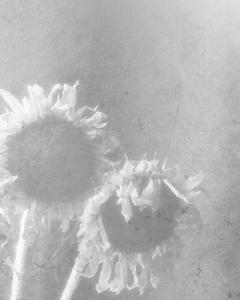 Sunflower-bw-3-1