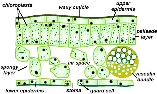 flower transpiration diagram rover 25 radio wiring revision:gcse biology - plant the student room