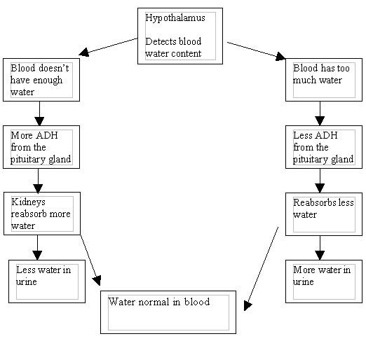 digestive system flow chart diagram boat ac wiring revision:gcse biology - the kidneys student room