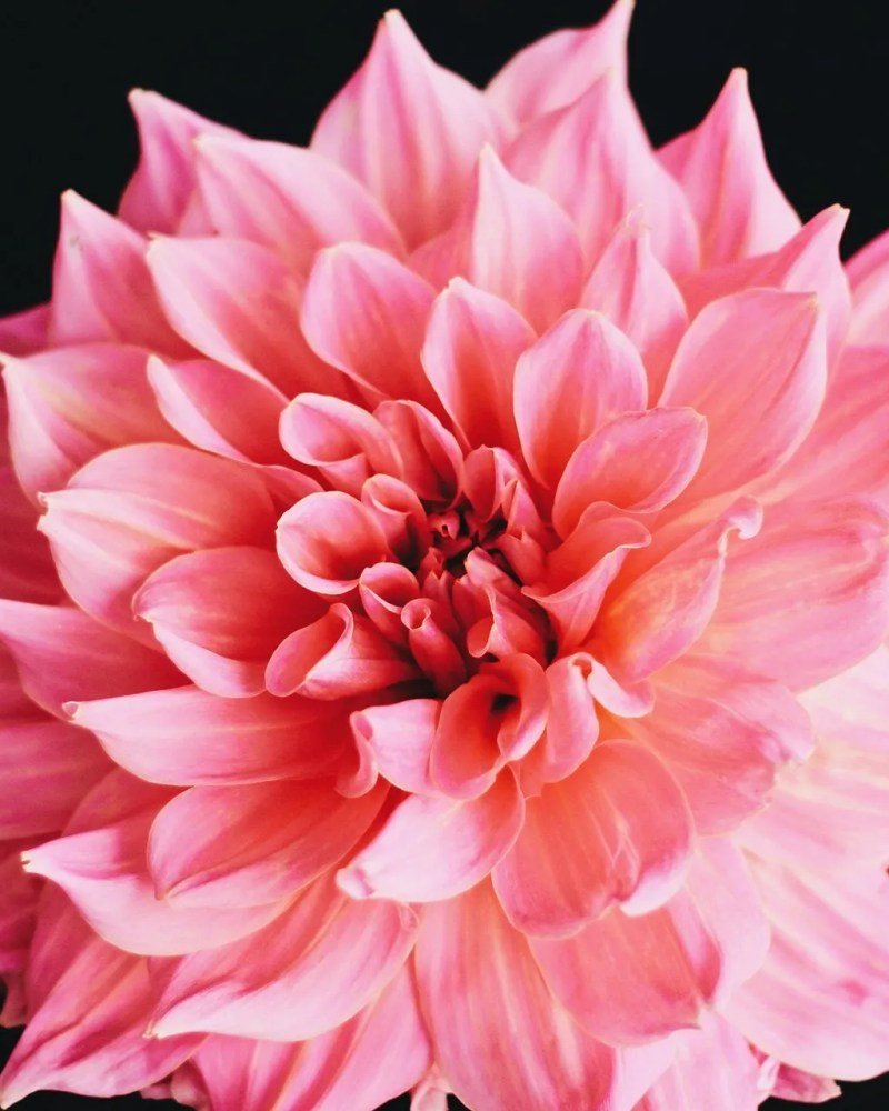 Closeup of pink flower on black table - blog on how trust affects intimacy