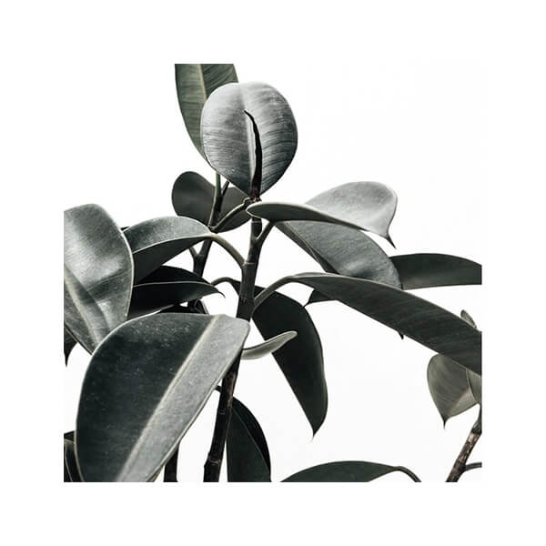 The Styling Project Rubber Tree