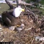 Bald Eagle Southwest Florida Cam