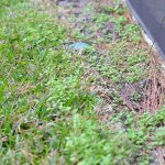 Florida Clover Grass