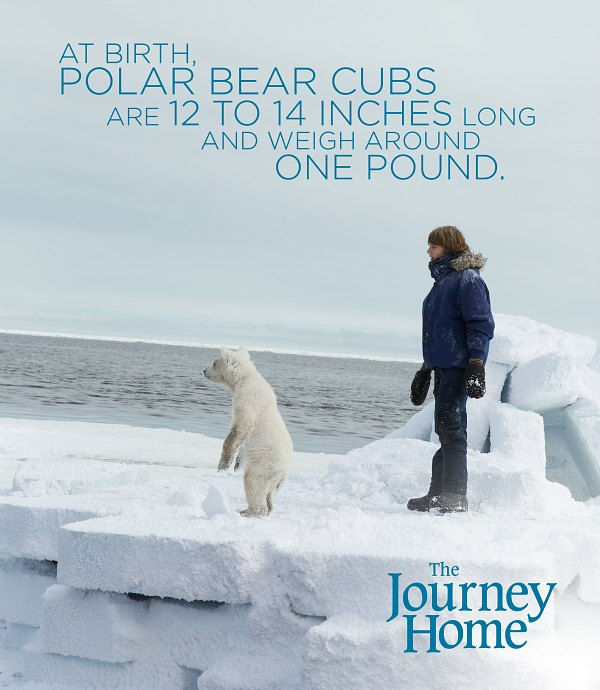 The Journey Home Polar Bear