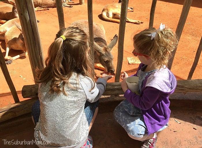 Busch Gardens Kangaroo