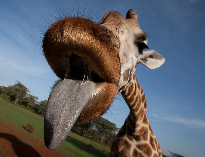 giraffe s tongue lashing