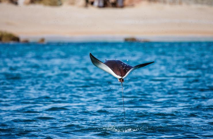 The mobula ray can launch itself over 6ft out of the water