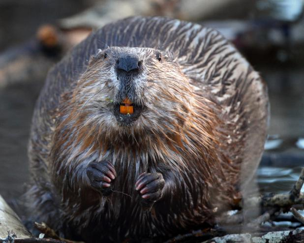 Secretions from the anal glands of beavers are used to derive a chemical found in ice cream flavourings