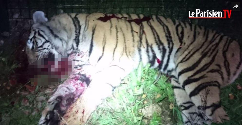 tiger shot dead after