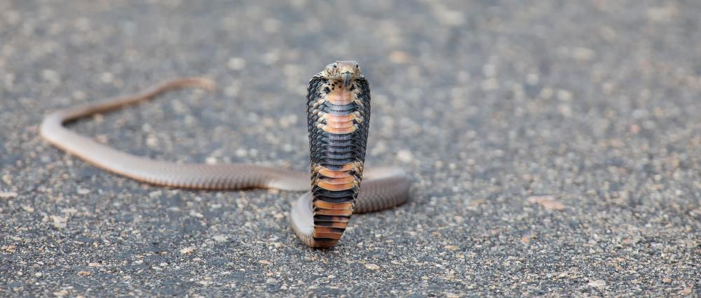 The Mozambique spitting cobra is considered one of Africa's most deadly snakes