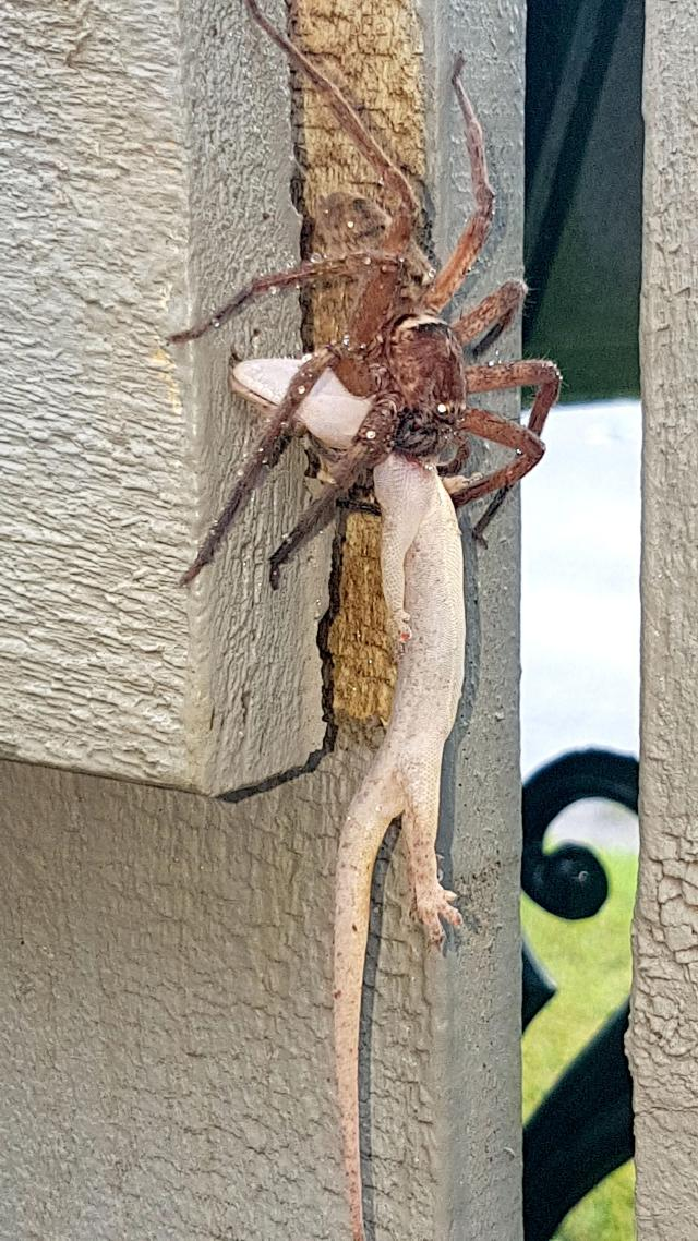 The Australian dad-of-three thought the wolf spider and gecko were a stick and a leaf - until he looked closer