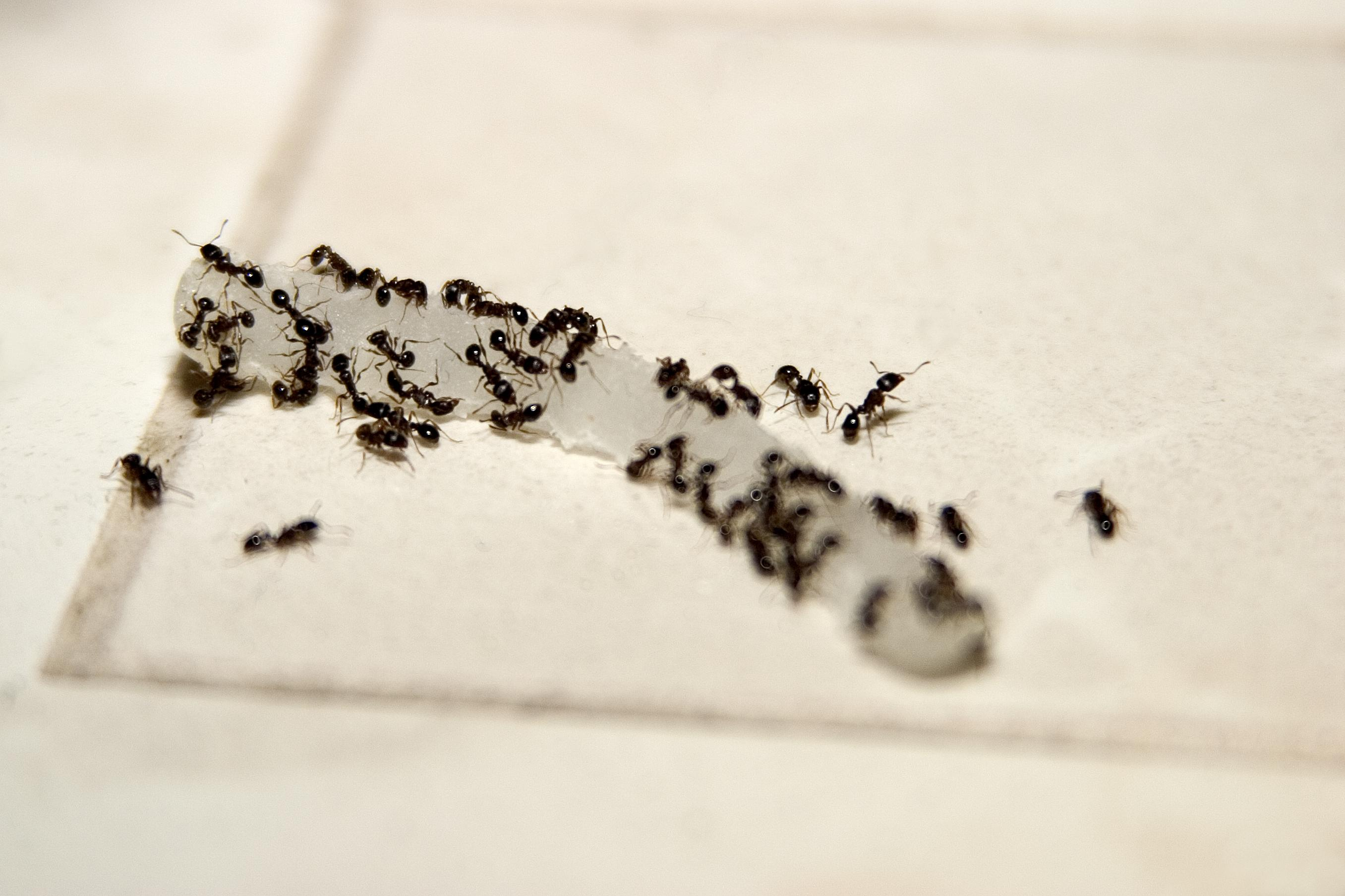 How Do You Get Rid Of Ants In Your House