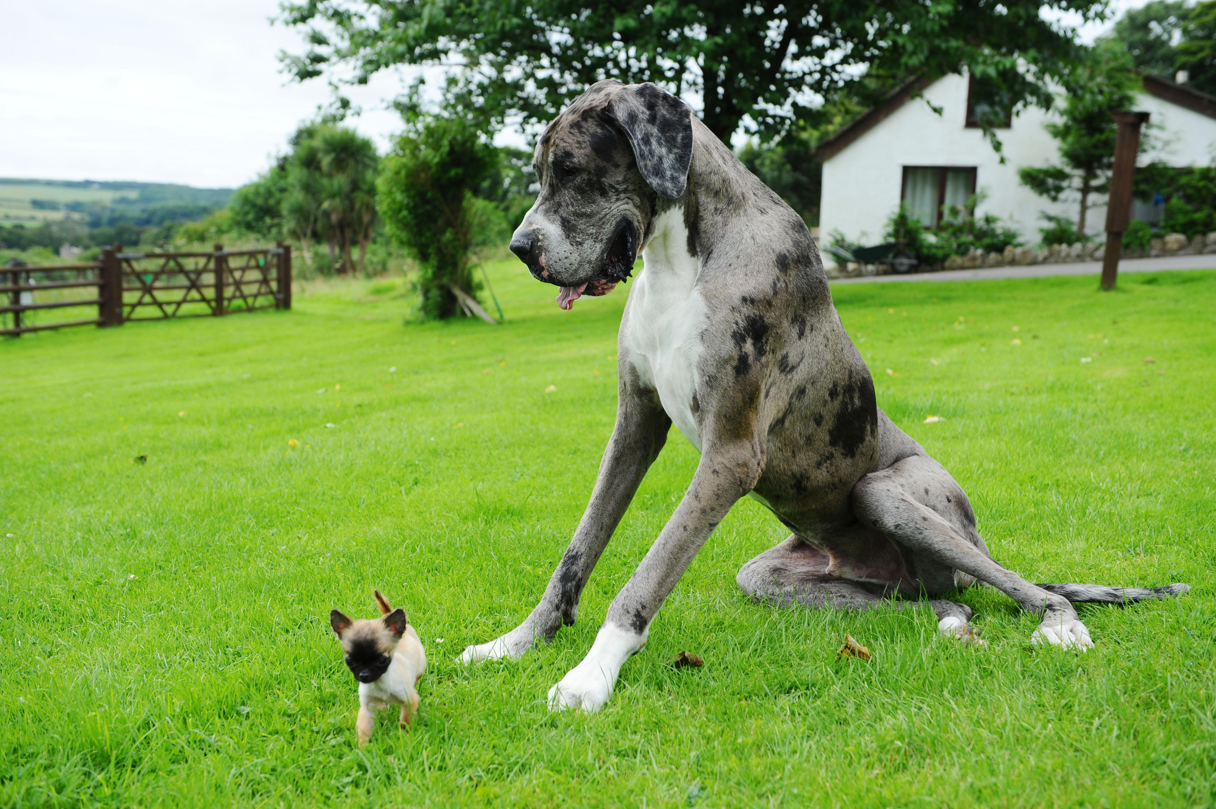 7ft great dane who