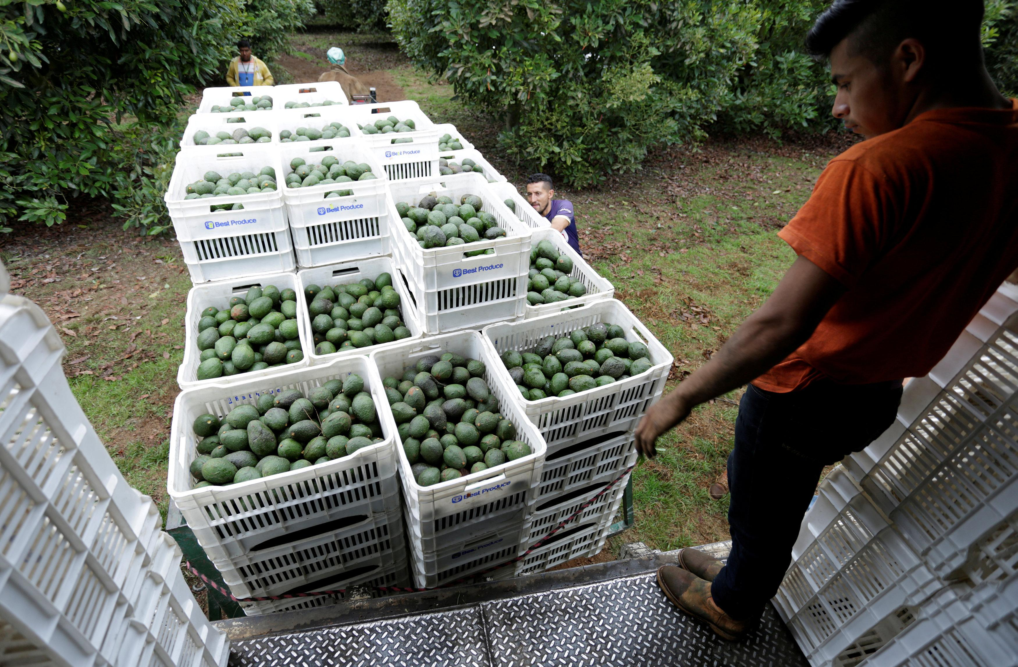 Around 120,000 tonnes of avocados were due to be sent north of the border