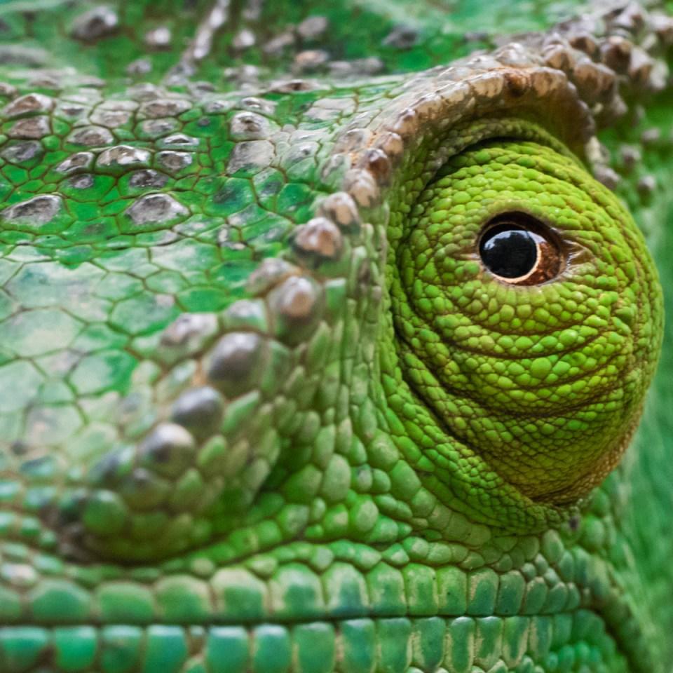 Image result for common chameleon