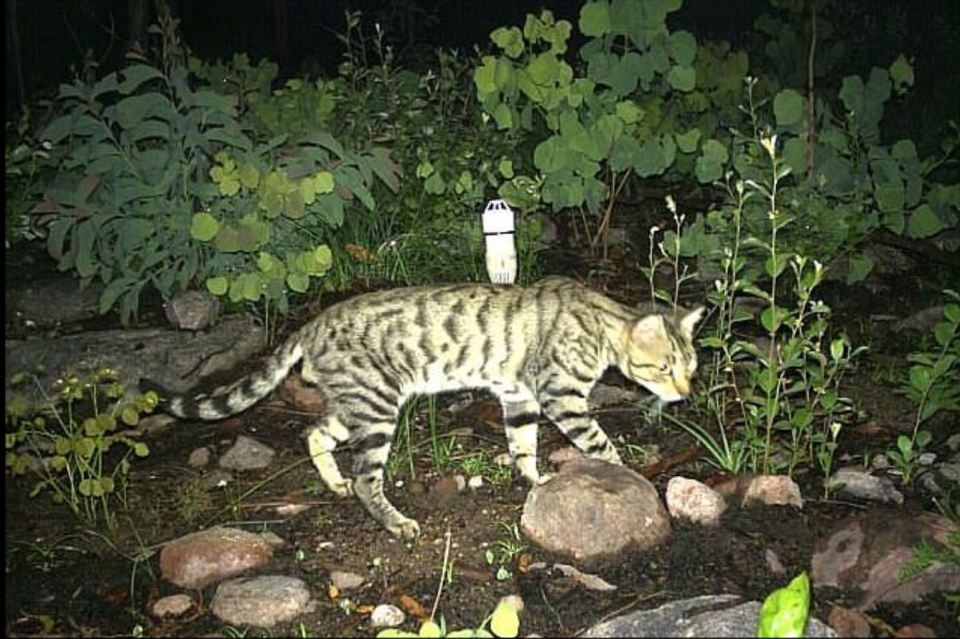 The feral felines kill around 377 million birds, and 649 million reptiles each year in Australia