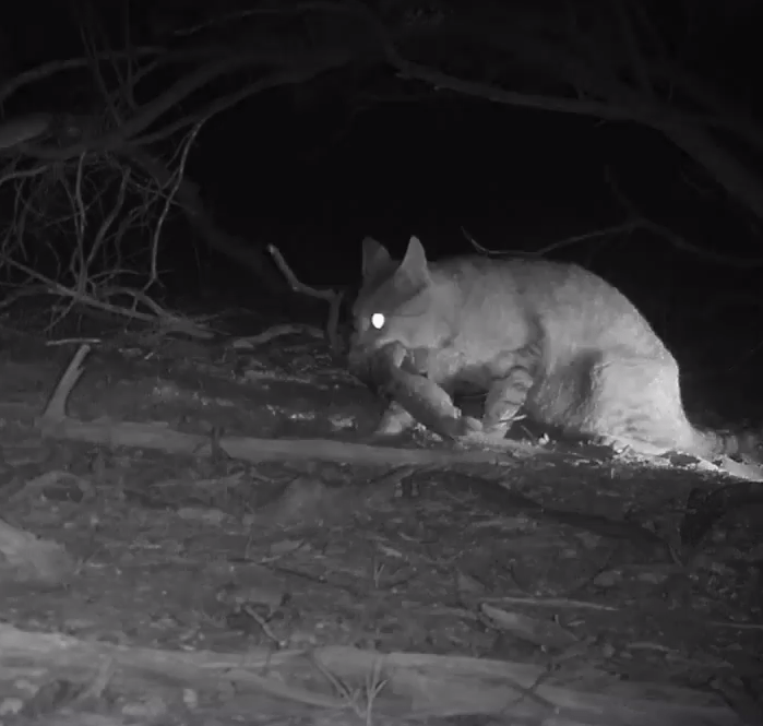 A feral cat can be seen snatching a species it has taken as its prey