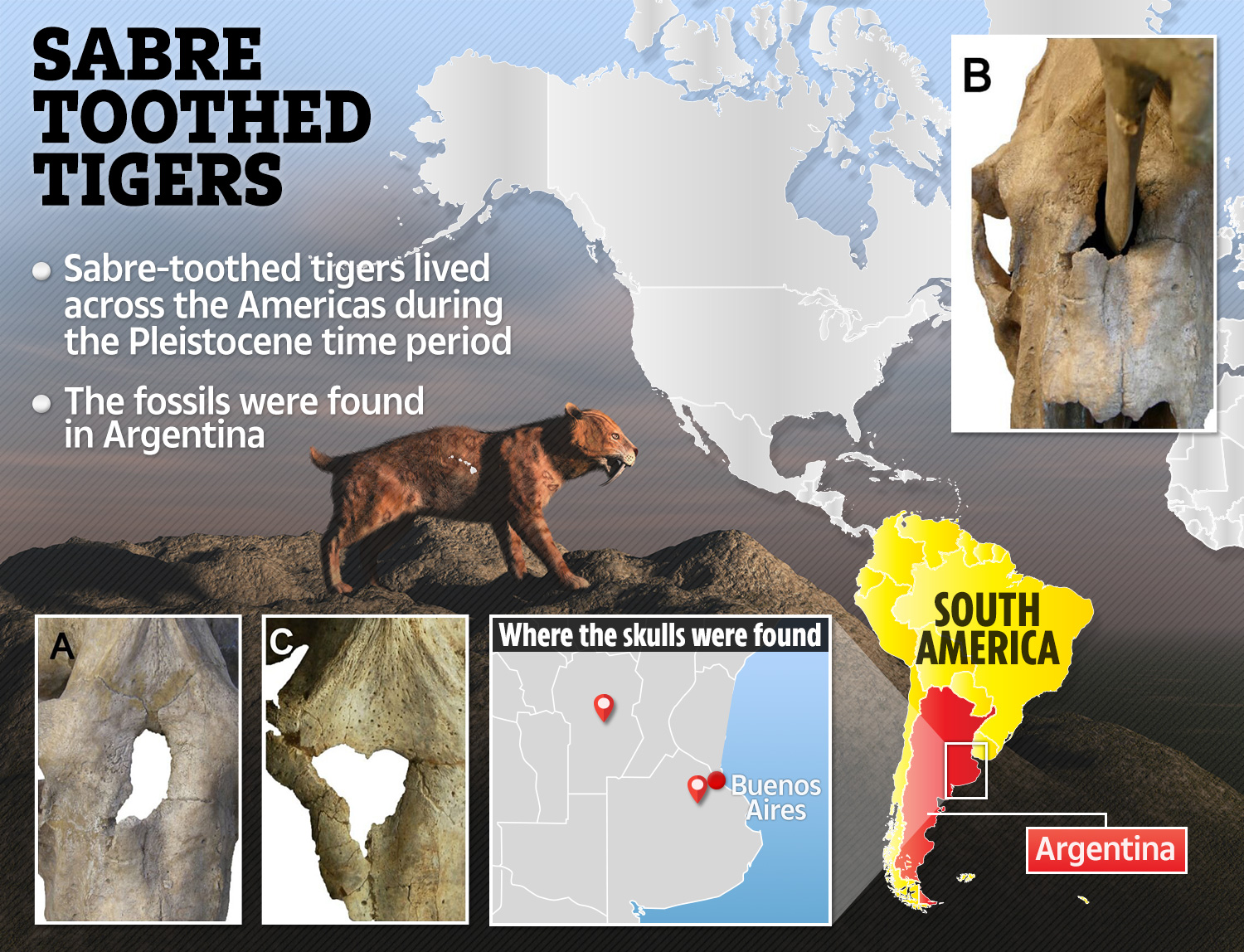 hight resolution of the specific sabre toothed tiger breed in question weigh 220 to 400 kg was around 120cm long and had teeth that were 28cm in length