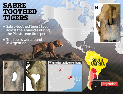 small resolution of the specific sabre toothed tiger breed in question weigh 220 to 400 kg was around 120cm long and had teeth that were 28cm in length