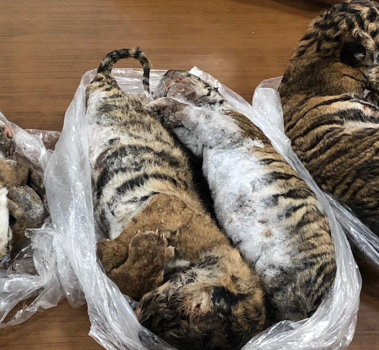 seven dead tiger cubs