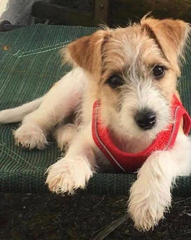 The Jack Russell puppy adopted by Boris Johnson and Carrie Symonds