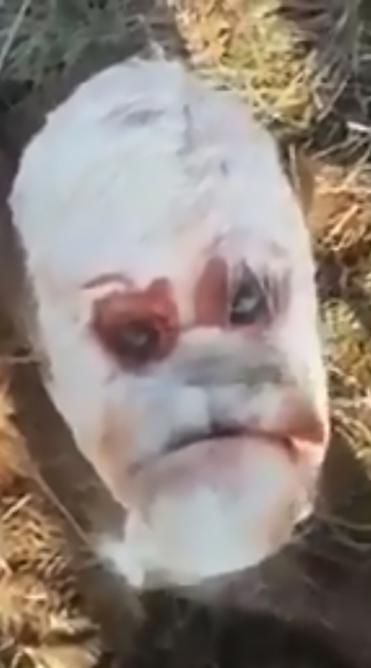 The unfortunate calf has been described as looking like a grumpy human