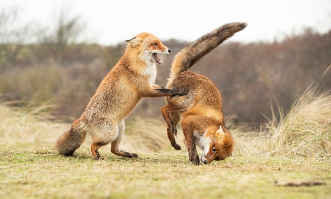 These foxes clearly have a rough and tumble relationship