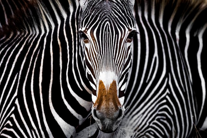 A Grevy's zebra staring at the camera in Lewa, Kenya