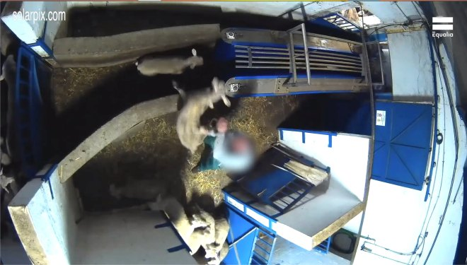 Workers were filmed throwing the lambs around like toys