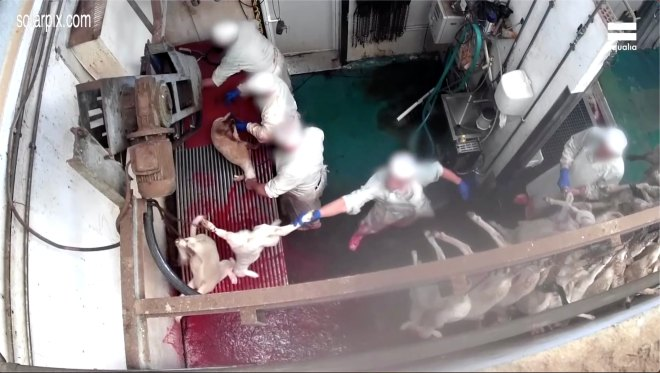 The footage was secretly filmed at a slaughterhouse near Madrid