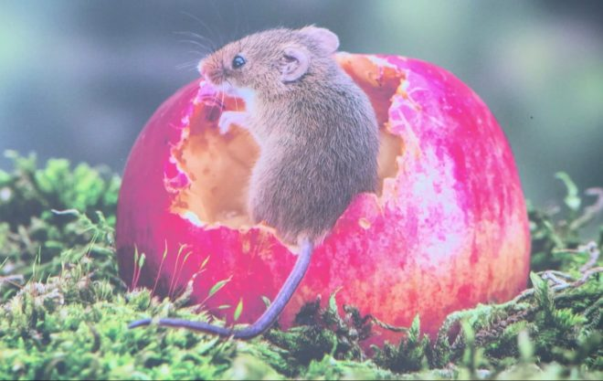 BBC viewers are outraged this set-up picture of a harvest mouse won Countryfiles wildlife photography competition